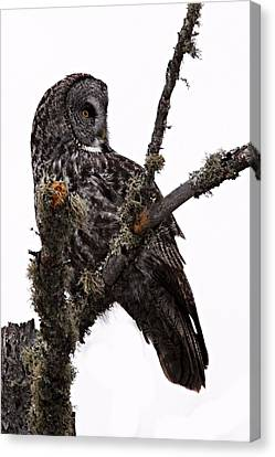 Great Grey Owl Canvas Print by Larry Ricker