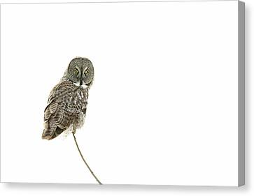 Canvas Print featuring the photograph Great Grey Owl On White by Mircea Costina Photography