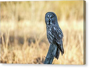 Great Grey Perching Canvas Print by Torbjorn Swenelius