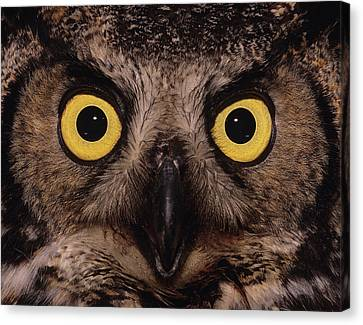 Great Horned Owl Face Canvas Print by Tony Beck