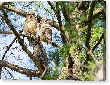 Great Horned Owl Family Canvas Print