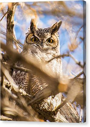 Great Horned Owl - Fielding Garr Ranch Canvas Print by Gary Whitton