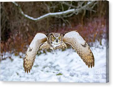 Great Horned Owl Flying At You Canvas Print by CJ Park