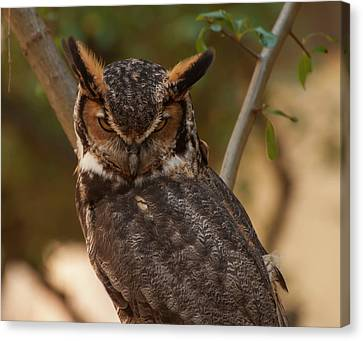 Great Horned Owl In A Tree 2 Canvas Print by Chris Flees