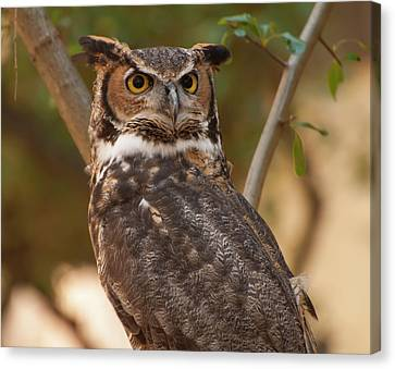 Great Horned Owl In A Tree 3 Canvas Print by Chris Flees