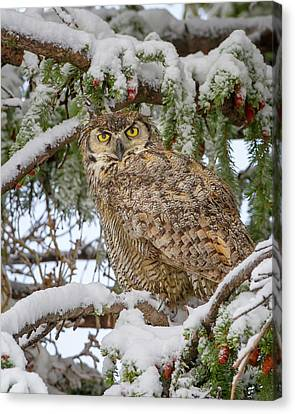 Great Horned Owl In Snow Canvas Print by Jack Bell