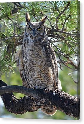 Great Horned Owl In The Tree Canvas Print by Richard Bryce and Family