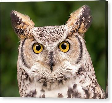 Great Horned Owl, Northern Color Variant Canvas Print