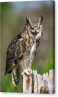 Great Horned Owl Screeching Canvas Print by CJ Park