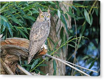 Great Horned Owl Staring With Golden Eyes Canvas Print