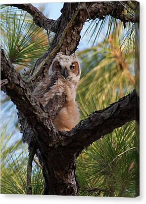 Great Horned Owlet Canvas Print by Paul Rebmann