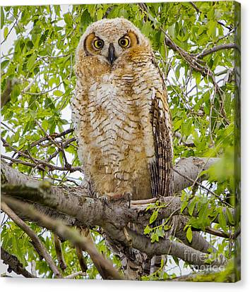 Great Horned Owlet Canvas Print by Ricky L Jones