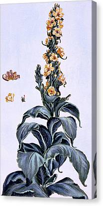 Great Mullein Canvas Print