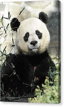 Great Panda II Canvas Print