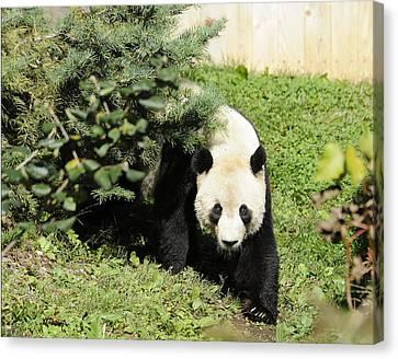 Great Panda Iv Canvas Print by Keith Lovejoy