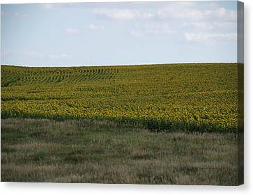 Great Plains Farming Sun Flower Field 10 Canvas Print by Thomas Woolworth
