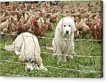 Working Dog Canvas Print - Great Pyrenees Pups Guard Chickens by Inga Spence