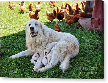 Working Dog Canvas Print - Great Pyrenees With Litter by Inga Spence