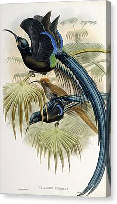 Great Sickle-billed Bird Of Paradise Canvas Print by John Gould