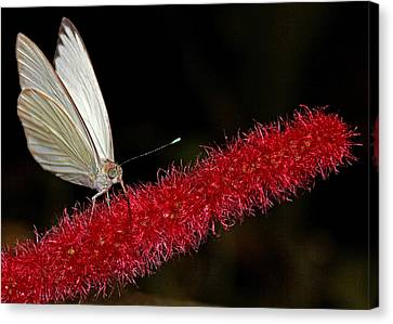 Canvas Print featuring the photograph Great Southern White by Judy Vincent