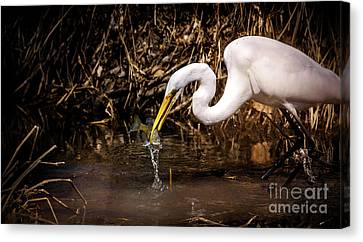 Great White Egret And Bluegill Canvas Print by Robert Frederick