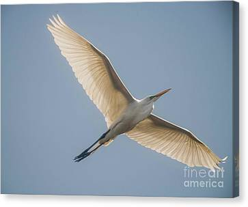 Canvas Print featuring the photograph Great White Egret by David Bearden