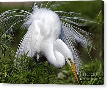 Great White Egret Displaying Plumage Canvas Print by Mary Lou Chmura
