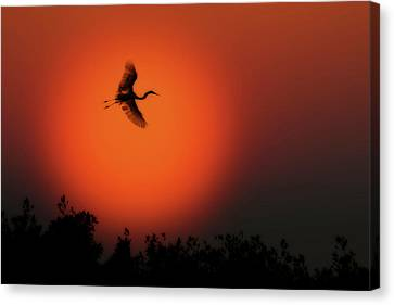 Great White Egret Flying In To Roost Canvas Print by Dan Friend