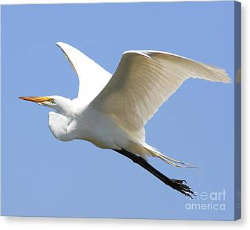 Great White Egret In Flight . 40d6845 Canvas Print by Wingsdomain Art and Photography