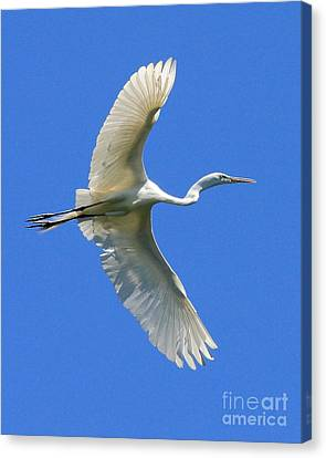 Great White Egret In Flight Canvas Print by Wingsdomain Art and Photography