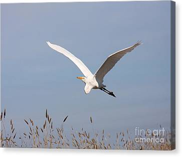 Bif Canvas Print - Great White Egret In Flight by Wingsdomain Art and Photography
