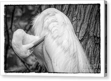 Canvas Print - Great White Egret Negative by Paulette Thomas