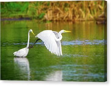 Beauty Mark Canvas Print - Great White Egrets by Mark Andrew Thomas
