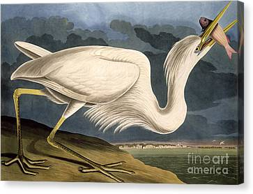 Heron Canvas Print - Great White Heron by John James Audubon