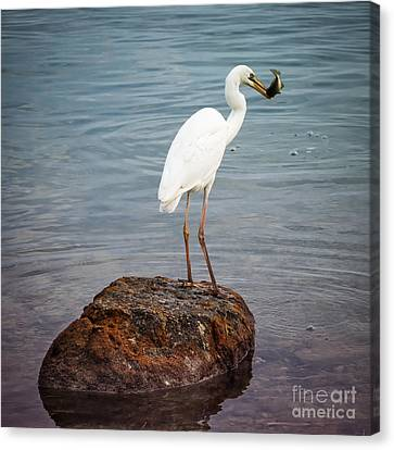 Great White Heron With Fish Canvas Print