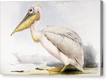 Great White Pelican Canvas Print by Edward Lear