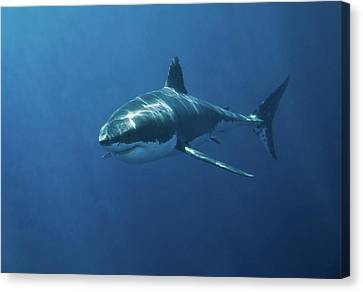 Danger Canvas Print - Great White Shark by John White Photos