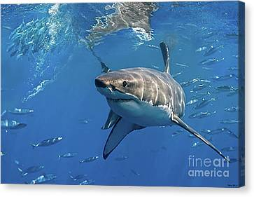 Great White Shark Canvas Print by Thomas Pollart