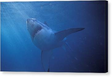 Great White Shark With Light Rays Canvas Print