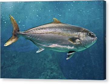 Greater Amberjack Canvas Print