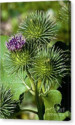Greater Burdock In Bloom Canvas Print by Dr. Antoni Agelet