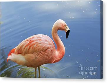 Greater Flamingo Canvas Print