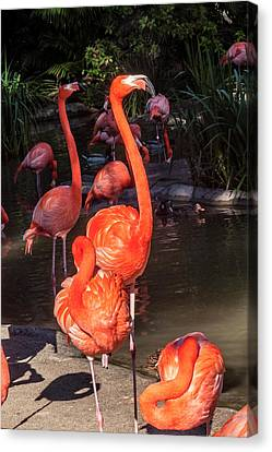 Greater Flamingo Canvas Print by Daniel Hebard