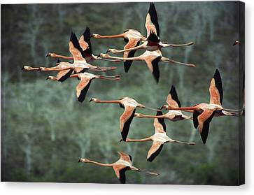 Greater Flamingo Phoenicopterus Ruber Canvas Print
