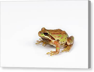 Green And Brown Frog On White Background Canvas Print