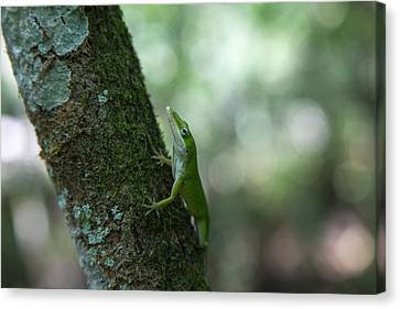 Green Anole Canvas Print by Christopher L Thomley