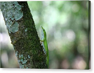 Green Anole Climbing Canvas Print by Christopher L Thomley