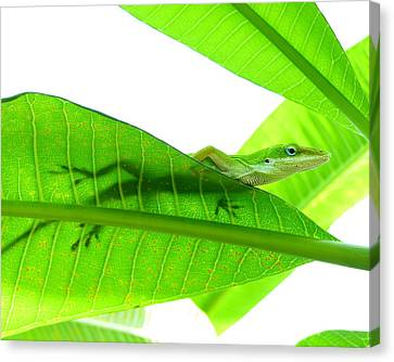 Green Anole On Leaf With Silhouette Canvas Print by Joseph Connors