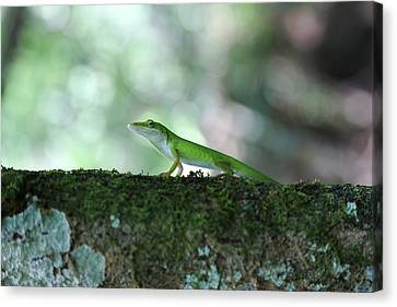 Green Anole Posing Canvas Print by Christopher L Thomley