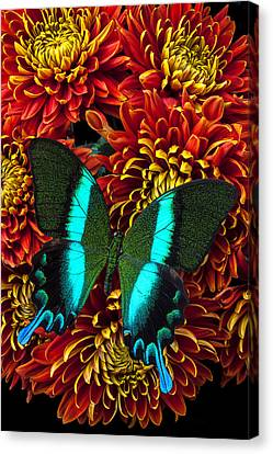 Green Blue Butterfly Canvas Print by Garry Gay
